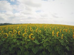 russia-sunflower